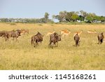 Botswana  gnus in the okavango...