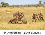 Botswana  gnus   wildlife in...