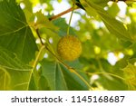 plant background. the fruit... | Shutterstock . vector #1145168687