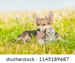 Stock photo pembroke welsh corgi puppy hugging tiny kitten on a summer grass 1145189687