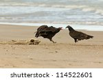 Small photo of Adult Turkey Vulture (Cathartes aura) Chasing an Immature Vulture Away From a Dead Lake Sturgeon (Acipenser fulvescens) Washed up on the Beach - Lake Huron, Ontario