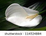 calla lily flower in a garden ... | Shutterstock . vector #114524884