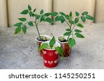 cultivation of young tomato... | Shutterstock . vector #1145250251