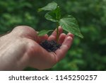 hand holding small chili plant... | Shutterstock . vector #1145250257