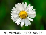 blooming daisy flowers in a... | Shutterstock . vector #1145250287