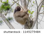 Small photo of Maned sloth in the brazilian atlantic forest