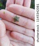 cushion starfish   asterina... | Shutterstock . vector #1145342081