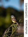 the great kiskadee  pitangus... | Shutterstock . vector #1145346401