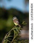 the great kiskadee  pitangus... | Shutterstock . vector #1145346404