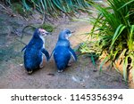 couple of two little penguins ... | Shutterstock . vector #1145356394