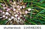 heap of freshly harvested...   Shutterstock . vector #1145482301