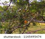 plantation of jocotes trees.   Shutterstock . vector #1145495474
