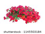 petunia flowers isolated on...   Shutterstock . vector #1145503184