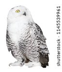 Stock photo polar owl isolated on white background 1145539961