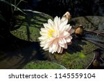 white lotus or water lilies in... | Shutterstock . vector #1145559104