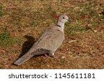 the eurasian collared dove ... | Shutterstock . vector #1145611181