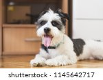 cute terrier dog isolated. dog... | Shutterstock . vector #1145642717