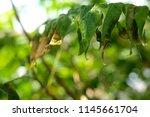 green fern palm leaves ... | Shutterstock . vector #1145661704