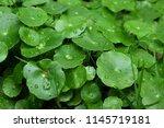 green leaf background | Shutterstock . vector #1145719181