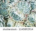 cactus succulent garden desert...   Shutterstock . vector #1145892914