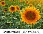 closeup round bright beautiful...   Shutterstock . vector #1145916371