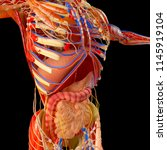 human body  muscular system and ... | Shutterstock . vector #1145919104