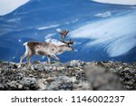White European Reindeer With...