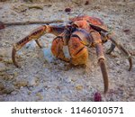 The Robber/Coconut Crab is the world