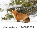 Red Fox Vulpes Vulpes In Pine...