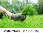 gardener hands cuttig fresh... | Shutterstock . vector #1146148451