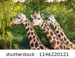 three cute walking giraffes ... | Shutterstock . vector #1146220121