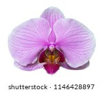 orchid isolated on white... | Shutterstock . vector #1146428897