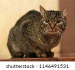 european short haired tabby cat ... | Shutterstock . vector #1146491531