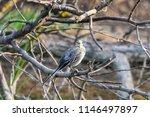 white wagtail or motacilla alba.... | Shutterstock . vector #1146497897