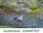 white wagtail or motacilla alba ... | Shutterstock . vector #1146497927