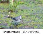 white wagtail or motacilla alba.... | Shutterstock . vector #1146497951