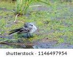 white wagtail or motacilla alba.... | Shutterstock . vector #1146497954