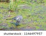 white wagtail or motacilla alba.... | Shutterstock . vector #1146497957