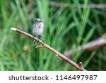 white wagtail or motacilla alba.... | Shutterstock . vector #1146497987