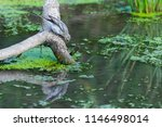 white wagtail or motacilla alba.... | Shutterstock . vector #1146498014