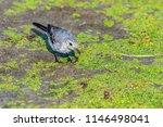 white wagtail or motacilla alba.... | Shutterstock . vector #1146498041