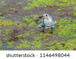 white wagtail or motacilla alba.... | Shutterstock . vector #1146498044