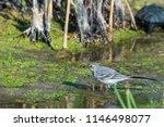 white wagtail or motacilla alba.... | Shutterstock . vector #1146498077