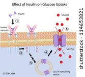 Effect of Insulin on glucose uptake - stock vector