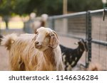 the domestic goat or simply... | Shutterstock . vector #1146636284