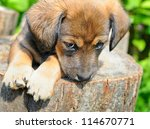 Stock photo cute a puppy of rate is on the stump of sunny canicular day 114670771
