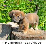Stock photo cute a puppy of rate is on the stump of sunny canicular day 114670801