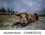 Wild Pig Sitting Lying Down On...