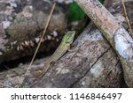 lizard tropical forests of... | Shutterstock . vector #1146846497