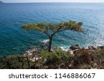 top view of a large pine tree...   Shutterstock . vector #1146886067